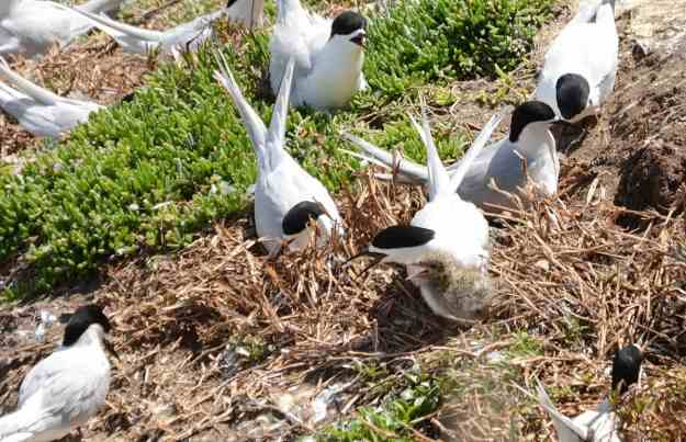 An image of White-fronted Terns sitting on their nest at Muriwai in New Zealand.