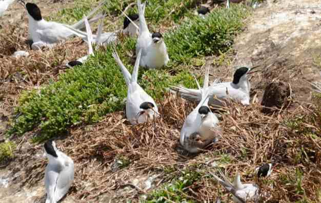 white-fronted terns with a chick at muriwai regional park, north island, new zealand 2111
