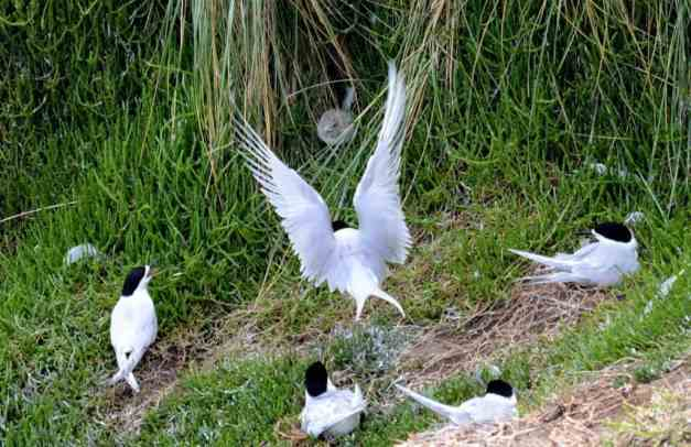 An image of a White-fronted Tern returning to a chick at Muriwai in New Zealand.