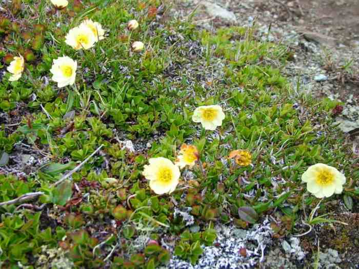 northern white mountain avens flowers on quirpon island, newfoundland, canada