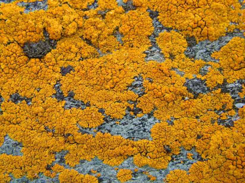 yellow crustose lichen on quirpon island, newfoundland, canada