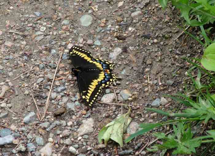a Black Swallowtail Butterfly along baker's brook falls hiking trail in gros morne national park, newfoundland