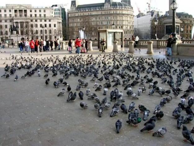 An image of pigeons in Trafalgar Square in London, England.