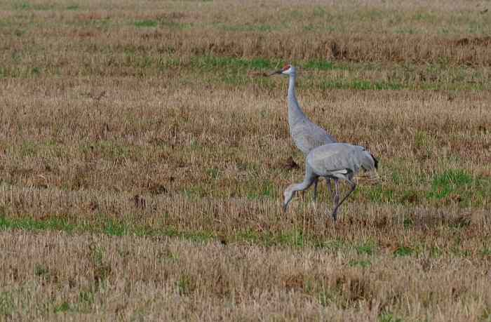 sandhill cranes in kawartha lakes in ontario, canada