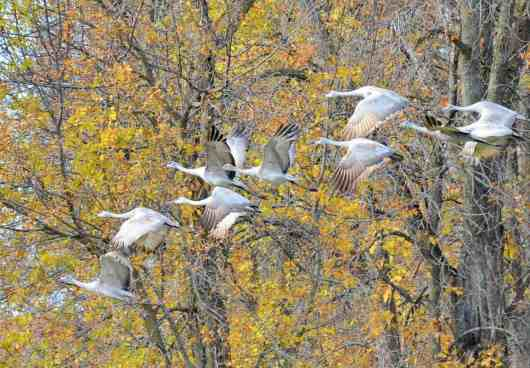 sandhill cranes, kawartha lakes, ontario, pic1