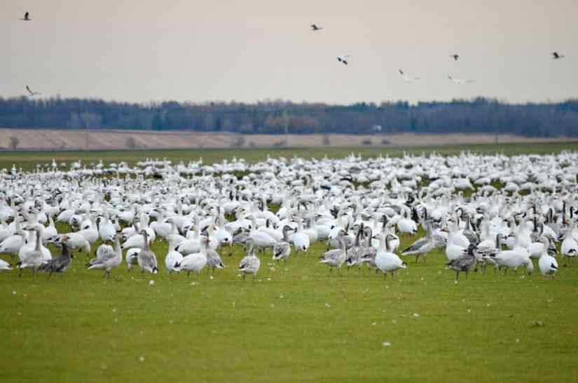 a flock of snow geese in field in ontario, canada