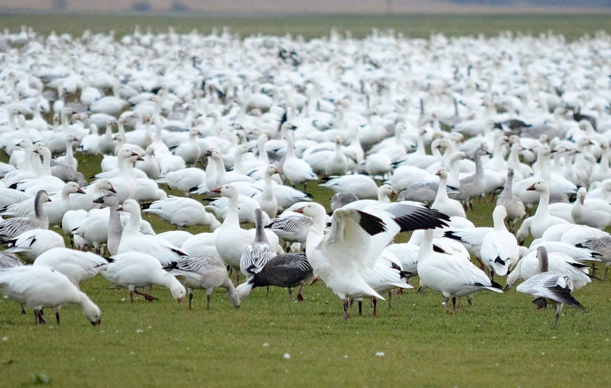 thousands of greater snow geese migrating in fall through. Black Bedroom Furniture Sets. Home Design Ideas