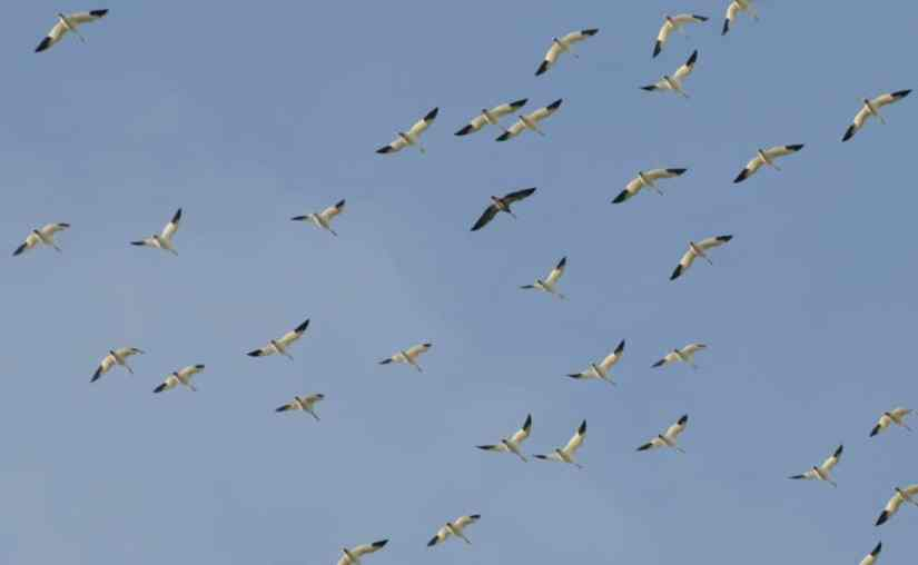 a flock of snow geese flying in ontario, canada