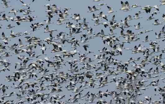 snow geese, ontario DSC_8156