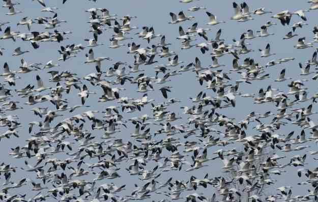 greater snow geese near casselman, ontario, canada