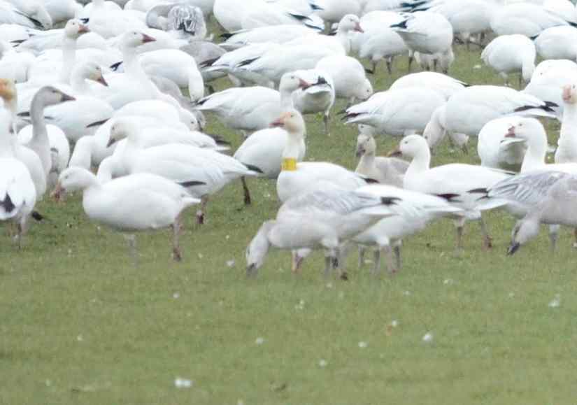 a banded greater snow goose in ontario, canada