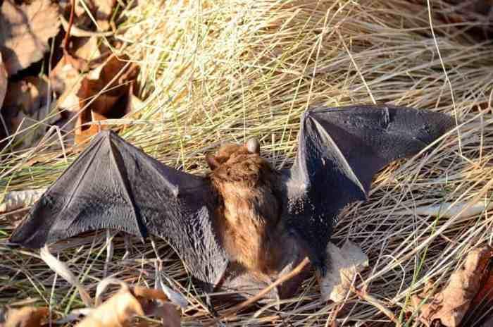 a Big Brown Bat in a park in Toronto, Ontario in Canada