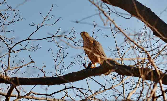 a cooper's hawk grasping a big brown bat in a north Toronto park, ontario, canada