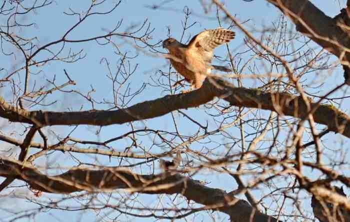 a cooper's hawk drops its prey in a toronto park in ontario, canada
