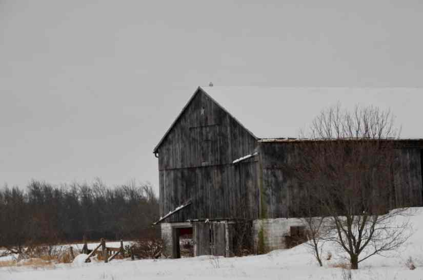 snowy owl on a barn in kawartha lakes region of ontario