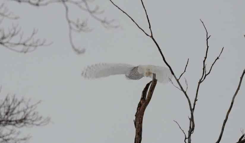 a snowy owl takes flight in kawartha lakes region of ontario