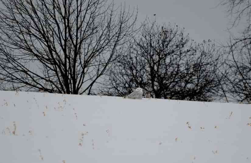 a snowy owl on crest of a hill in kawartha lakes region of ontario