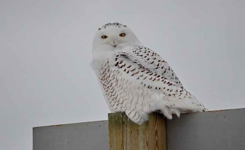 snowy owl near brooklyn, ontario