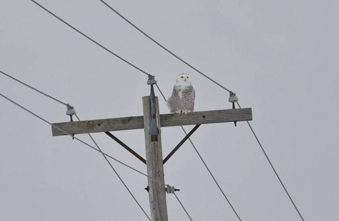 a snowy owl perched on a hydro pole in kawartha lakes region of ontario
