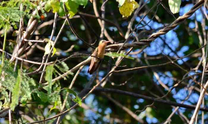 Cinnamon Hummingbird sitting on a tree in Mexico.