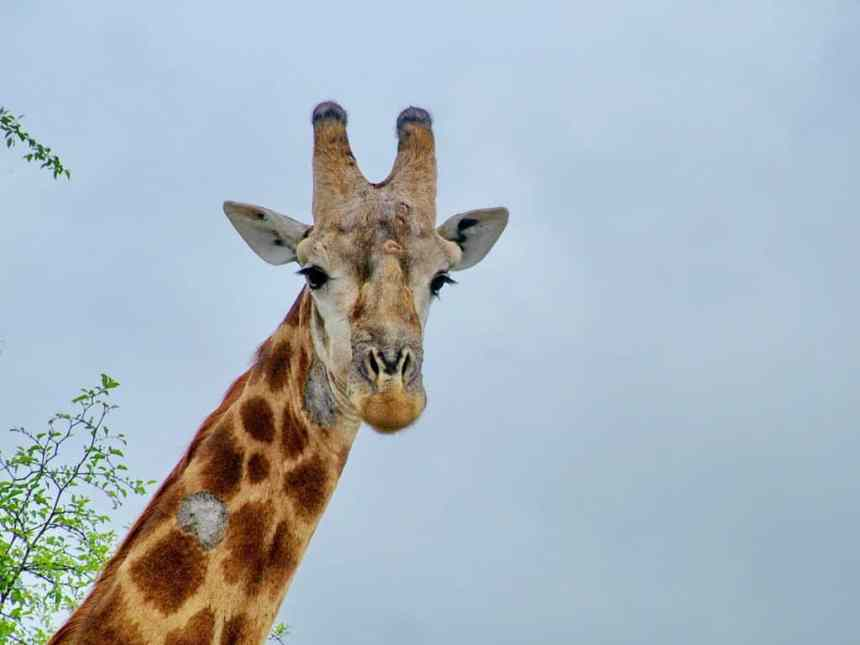 a closeup of a giraffe in kruger national park, south africa