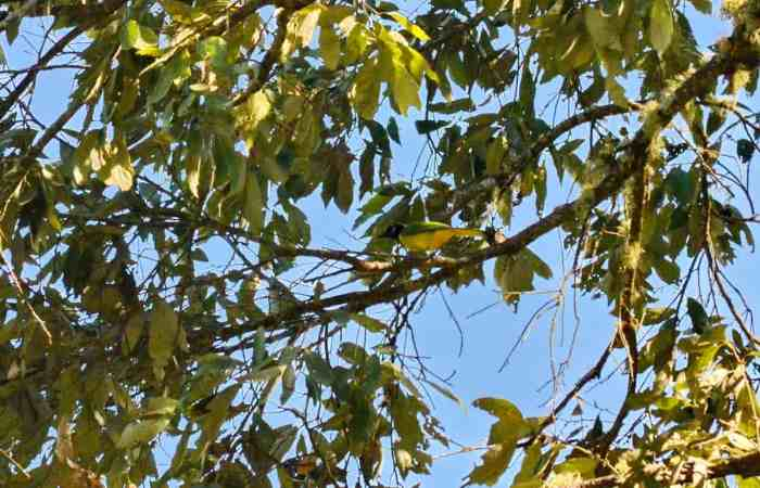 Green Jay in a tree in Mexico.
