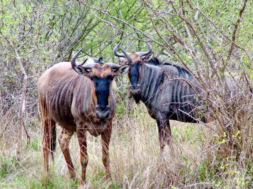 a pair of blue wildebeests in kruger national park, south africa