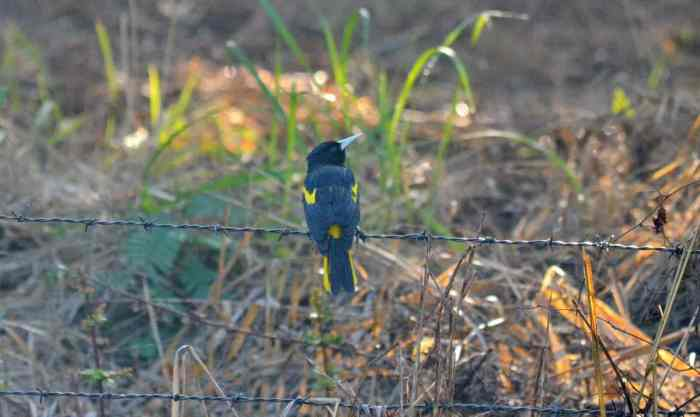 Yellow-winged Cacique sitting on a fence in Mexico