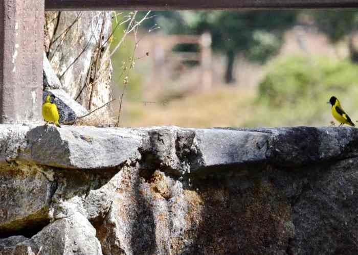Audubon Orioles sitting on stone fence in Mexico.