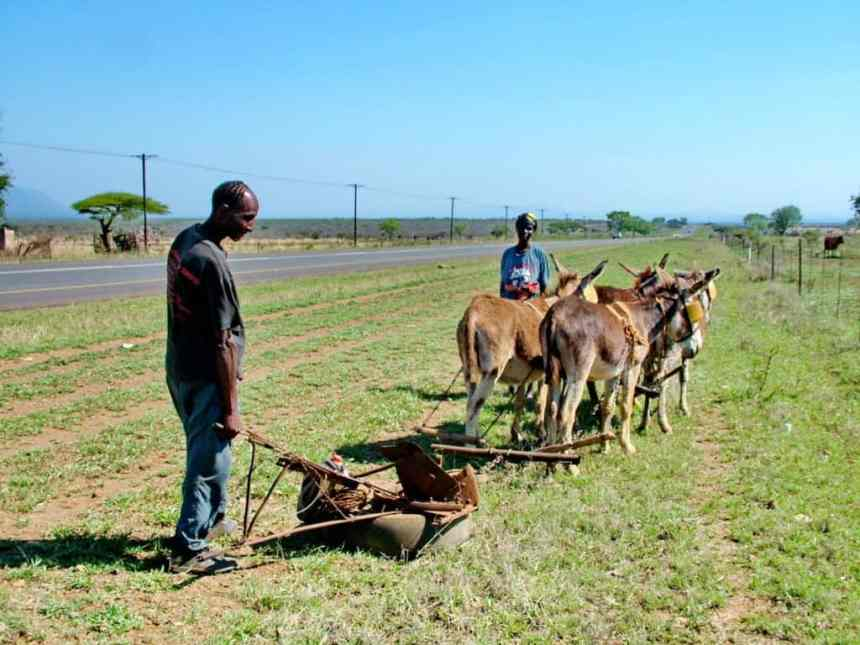 farmers with a team of mules in swaziland, africa