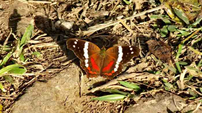 Image of a Banded Peacock Butterfly near La Bajada, Mexico.