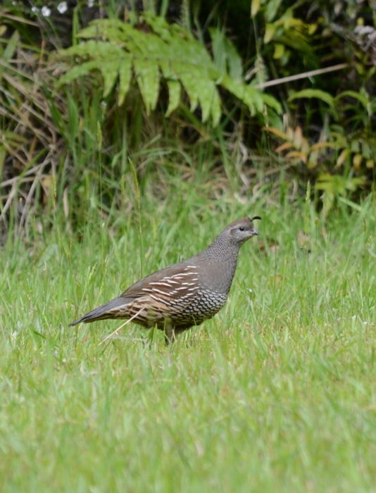 a california quail, female, ark in the park, waitakere ranges regional park, north island, new zealand