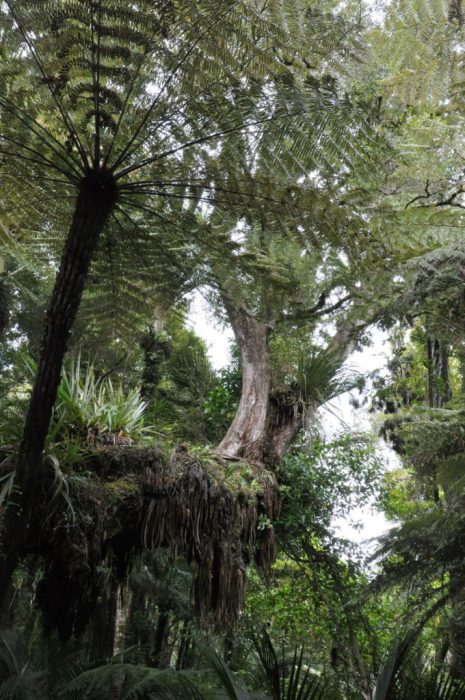forest canopy, ark in the park, waitakere ranges regional park, north island, new zealand