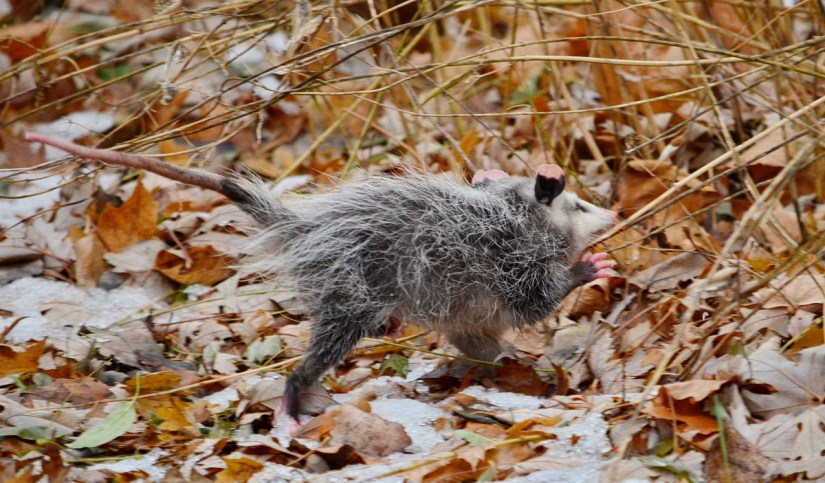 a young opossum in dried leaves, toronto, ontario