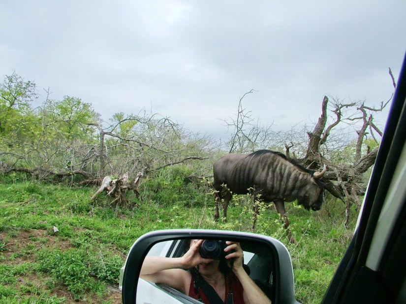 a blue wildebeest, hluhluwe-imfolozi, south africa