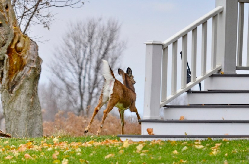 A white-tailed deer running beside a home on Amherst Island, Ontario, Canada.