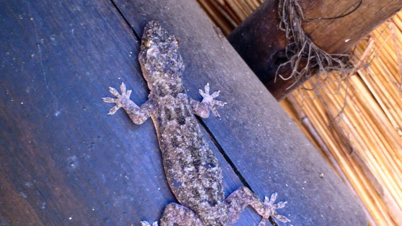 a gecko at hilltop camp, hluhluwe-imfolozi, south africa