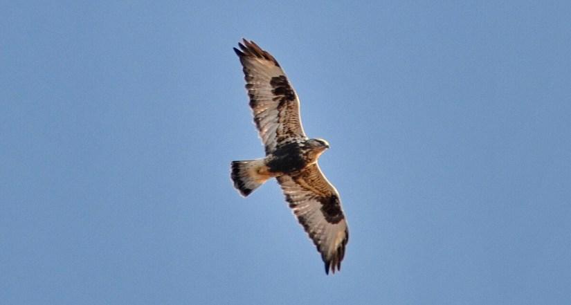 a rough-legged hawk, amherst island, ontario