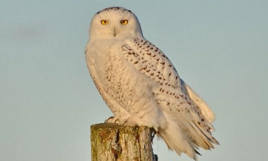 A Snowy Owl sitting on a hydro pole on Amherst Island, Ontario, Canada.