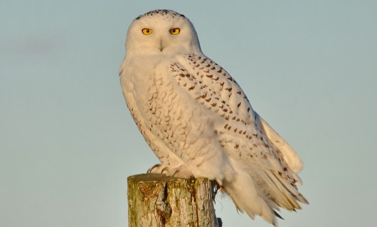 A Snowy Owl sitting on a hydro pole on Amherst Island, Ontario, Canada.