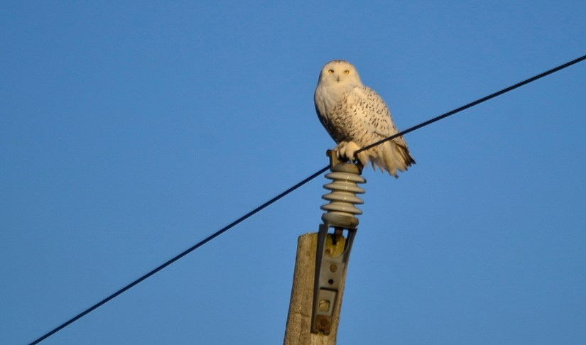 A Snowy Owl sitting on top of a hydro pole on Amherst Island, Ontario, Canada.