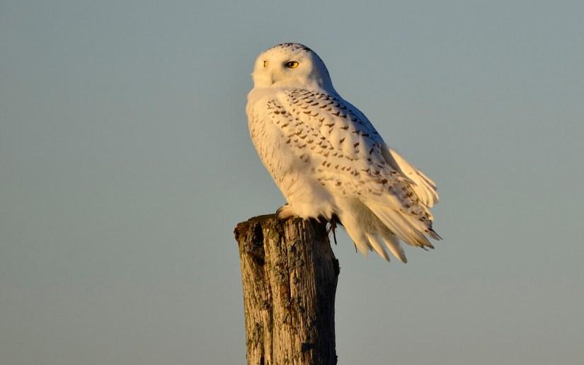 a snowy owl on a fence post, amherst island, ontario