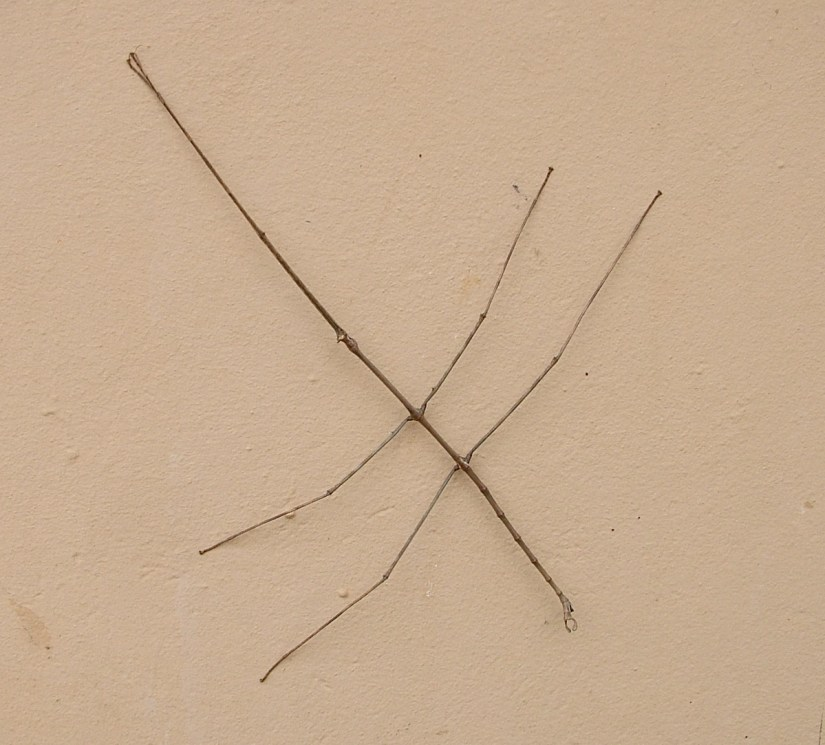 a stick insect in hluhluwe-imfolozi, south africa