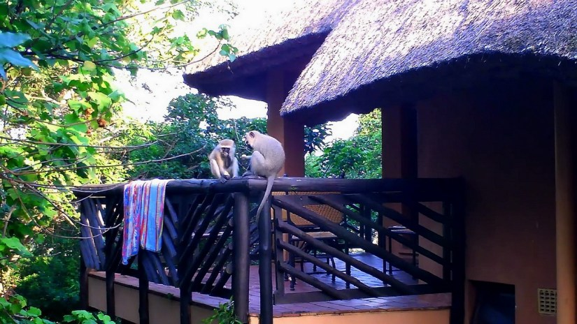 vervet monkeys raiding a cabin at hilltop camp, hluhluwe-imfolozi, south africa