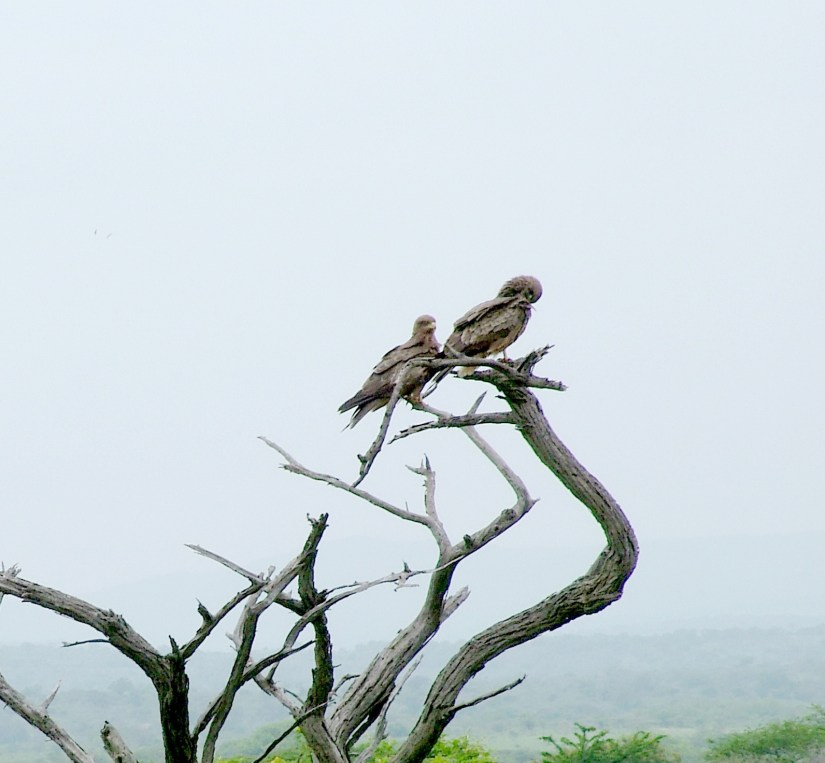 yellow-billed kites, hluhluwe-imfolozi, south africa