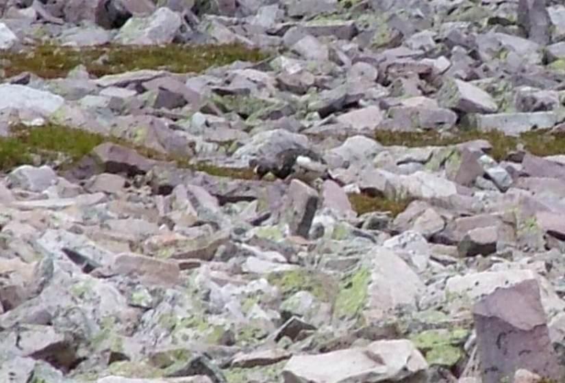 a rock ptarmigan, gros morne mountain, newfoundland, canada