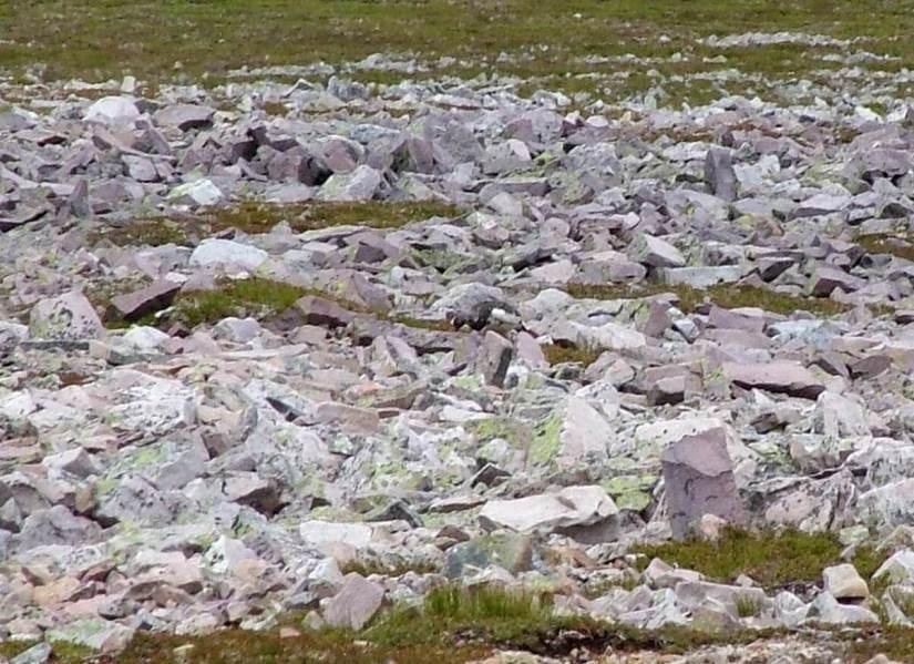 a rock ptarmigan amid rocks, gros morne mountain, newfoundland, canada