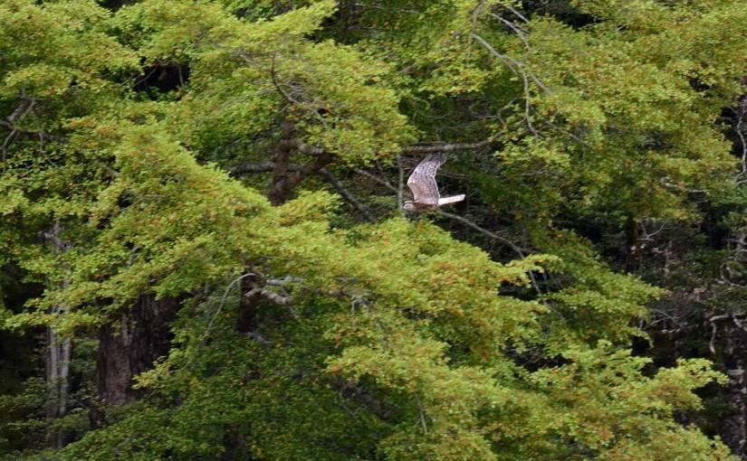 swamp harrier, eglinton river valley, fiordland national park, new zealand