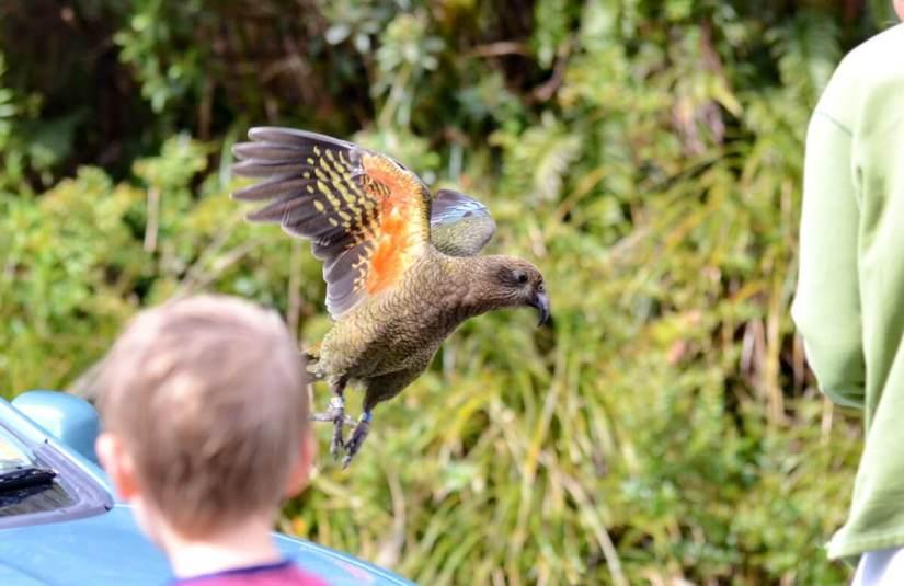 a kea in flight, fiordland national park, south island, new zealand