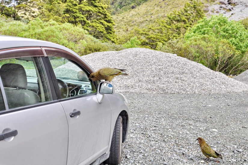 a kea parrot on a car, fiordland national park, south island, new zealand